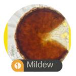 Mildew